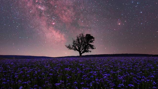 Phaceliafeld unter einem sommerlichen Sternenhimmel