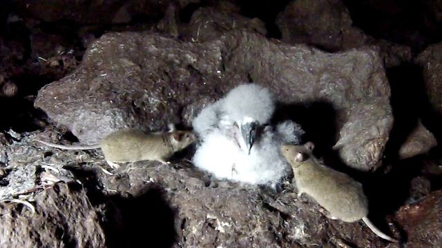 Mäuse attackieren Nachwuchs von Seevögeln