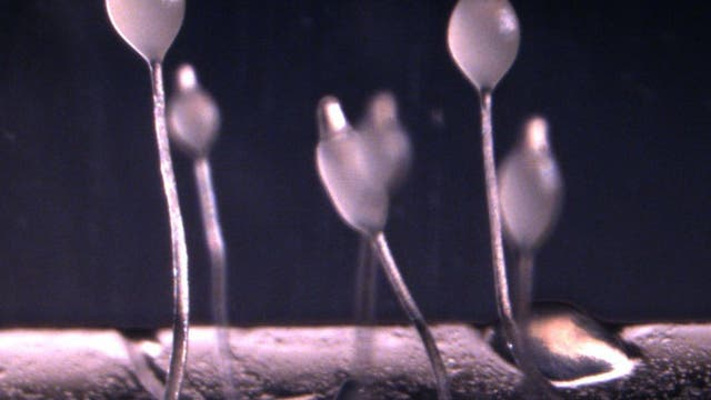 Fruchtkörper von <i>Dictyostelium</i>