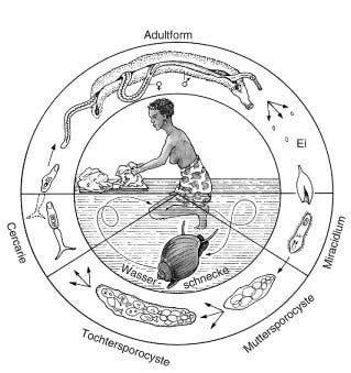Lebenszyklus von <i>Schistosoma mansoni</i>