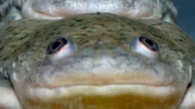 Verweiblichte Krallenfrosch-Männchen kopulieren