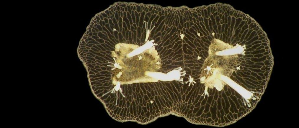 <i>Hydractinia symbiolongicarpus</i>
