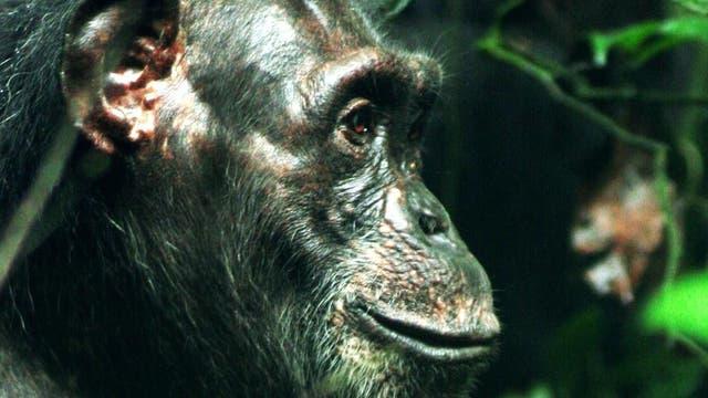 Schimpansenweibchen Isha