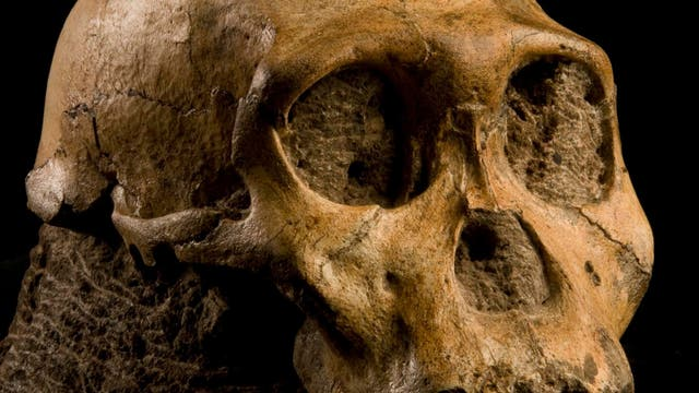 Schädel von <i>Australopithecus sediba</i>