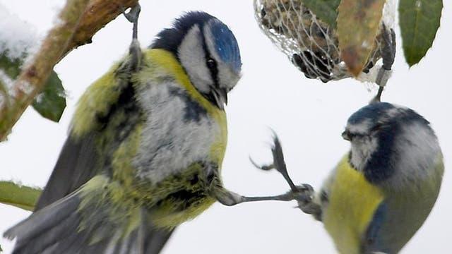Blaumeisen konkurrieren nicht nur um Meisenknödel