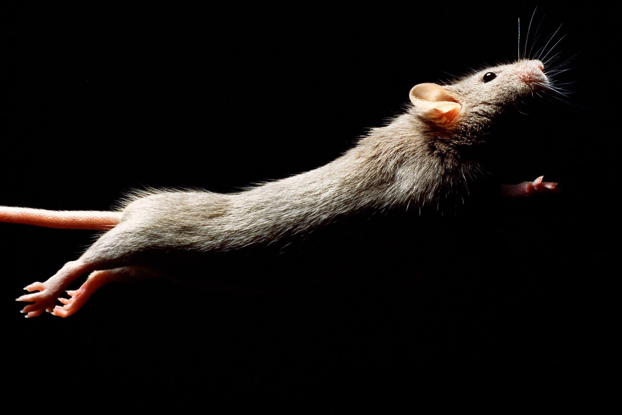 Maus im Sprung