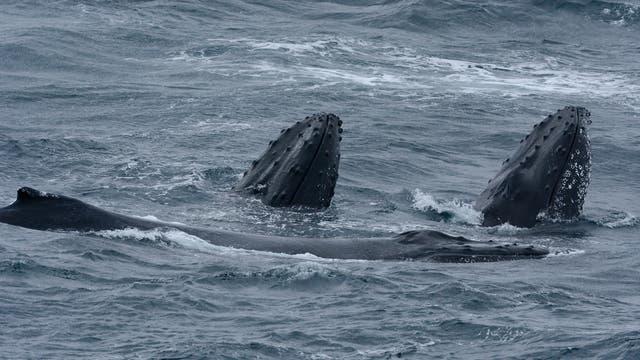 Buckelwale in der Tasmanischen See