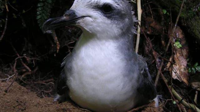 Cook-Sturmvogel vor Bruthöhle