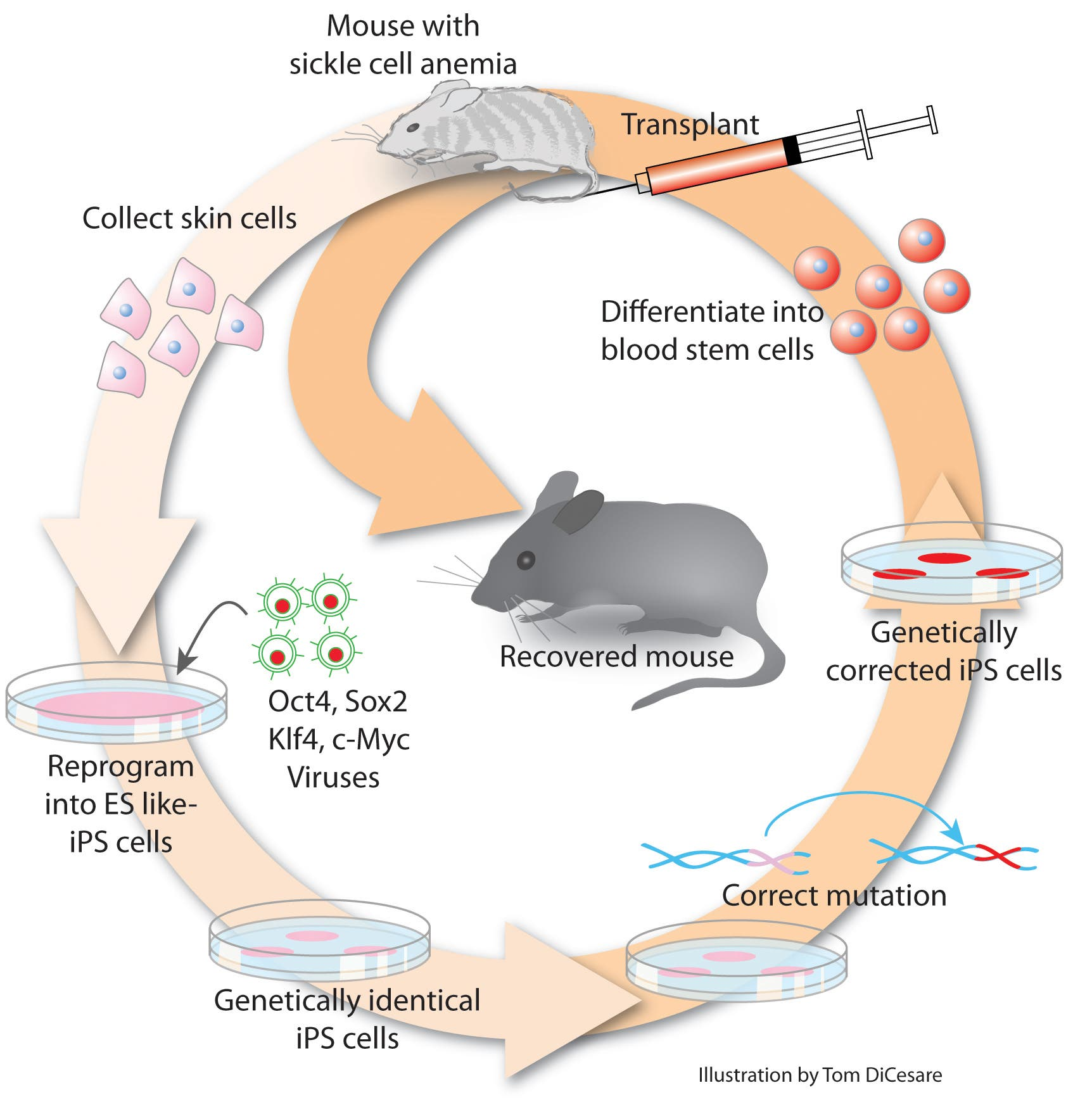 Heilung mit iPS-Zellen