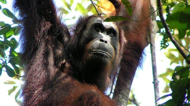 Orang-Utan (<i>Pongo pygmaeus</i>)