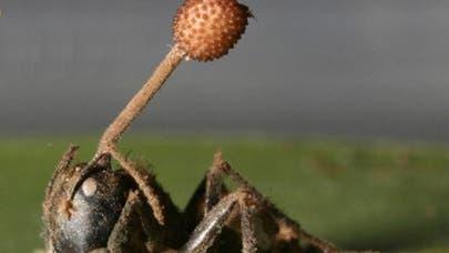 Pilz wächst aus Ameise