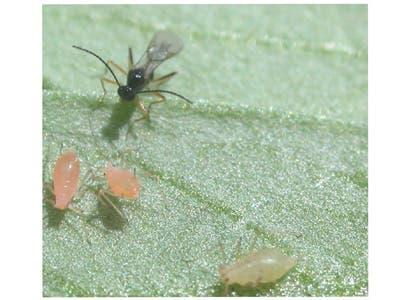 Schlupfwespe attackiert Blattläuse