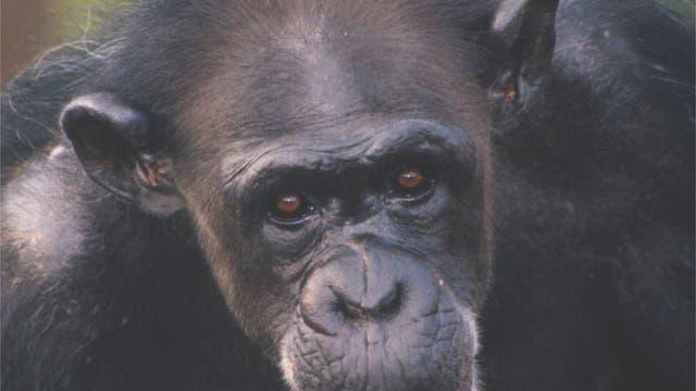 """""""Willst Du tauschen?"""" - Das Schimpansenweibchen Kelly"""