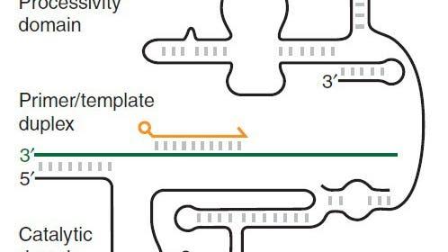 Schematische Darstellung eines Polymerase-Ribozyms