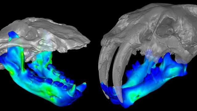 Gebissvergleich des Seebären und der Säbelzahnkatze (rechts)