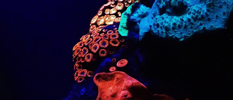 Leuchtende Korallen im Roten Meer