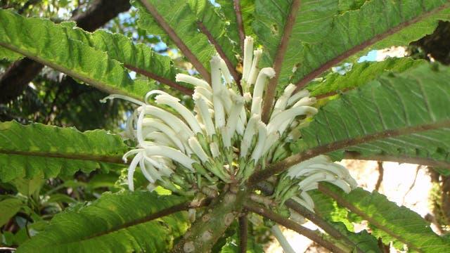 Cyanea heluensis - die vielleicht seltenste Pflanze der Erde