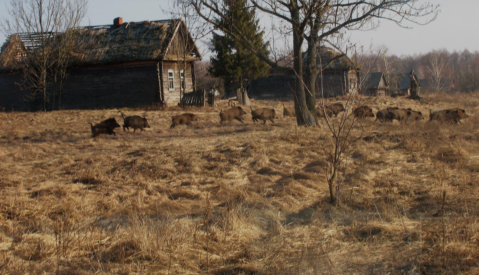 Eine Rotte Wildschweine läuft über brach gefallenes Land in der Nähe von Tschernobyl.