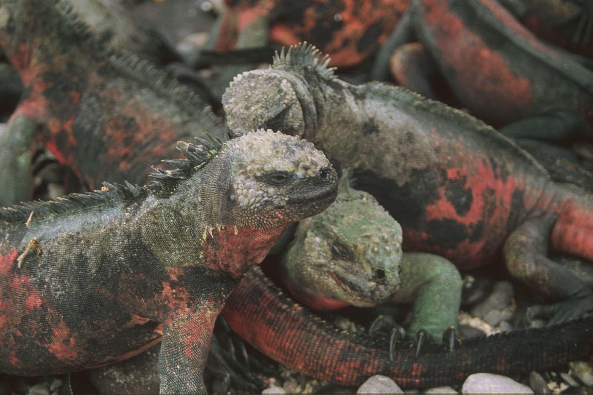 Dicht gepackt sind Meerechsen ein gefundenes Greifvogel-Fressen