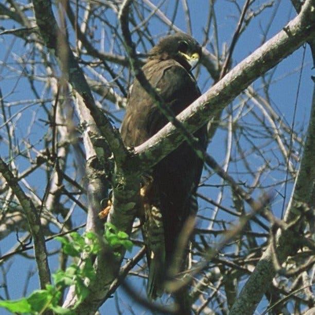 Am Tag ohne Konkurrenz: Der Galapagos-Bussard <i>Buteo galapagoensis</i>