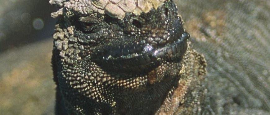 Der Galapagos-Leguan <i>Amblyryhynchus cristatus</i>