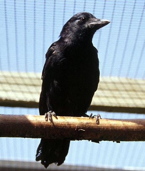 <i>Corvus moneduloides</i>
