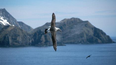 Fliegender Graukopfalbatros