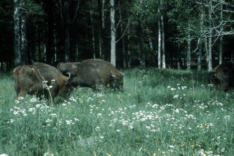 Wisent im Wald von Bialowieza