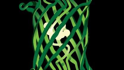 Dosenförmige Peptidkette: Das grün fluoreszierende Protein (GFP)