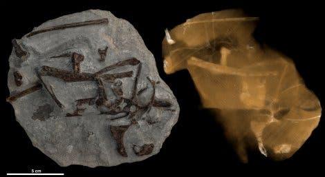 Fossil der Ur-Ente