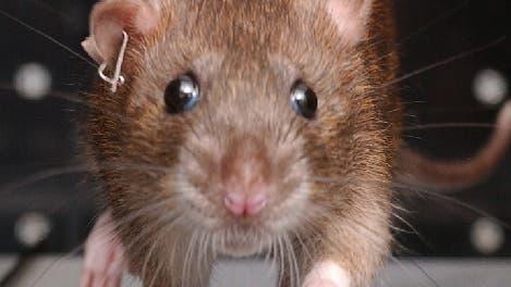 Rennende Ratte