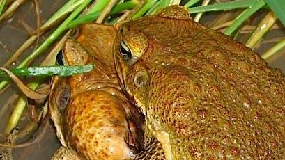 Aga-Kröten bei der Paarung