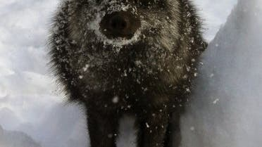 Silberfuchs im braunen Winterfell