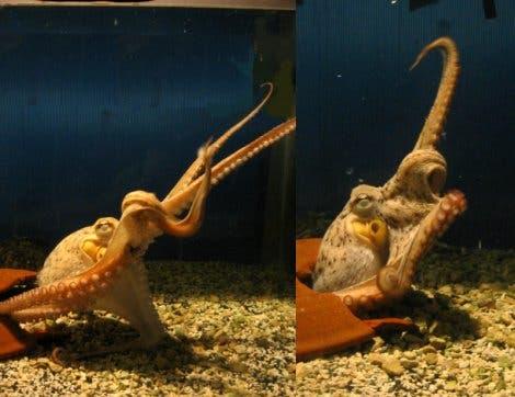 Greifender Octopus