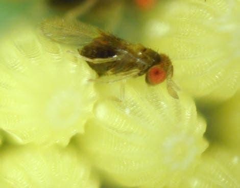 <i>Trichogramma brassicae</i>  bei der Eiablage