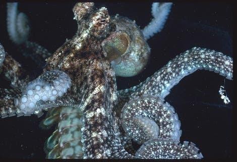 <i>Octopus aculeatus</i>
