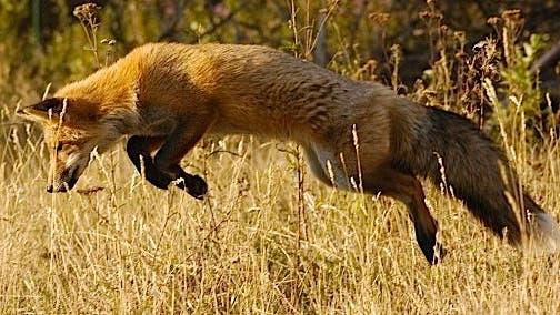 Mausender Fuchs