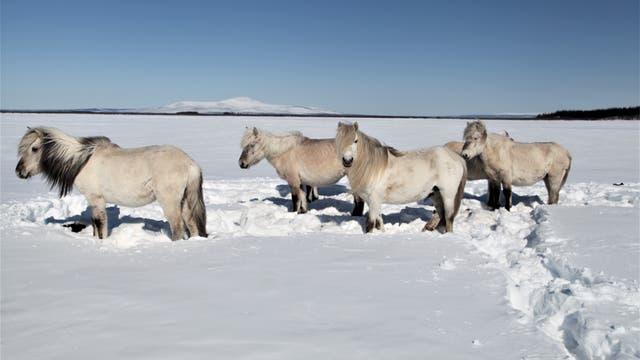 Können Wildpferde dem Tauen des Permafrosts Einhalt gebieten?