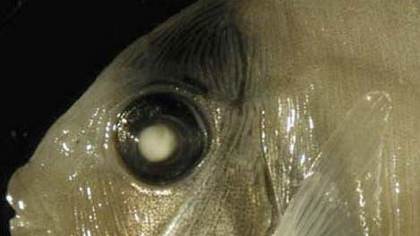 Rifffisch
