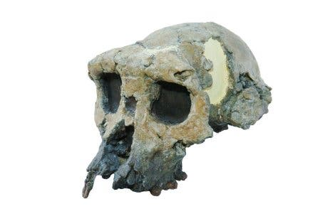 <i>Sahelanthropus tchadensis</i>