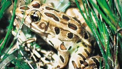 Bedrohter Leopardfrosch