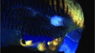 Wellensittich im UV-Licht