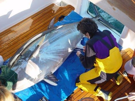 Besenderung der Tunfische