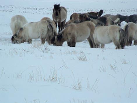 Jakutische Wildpferde