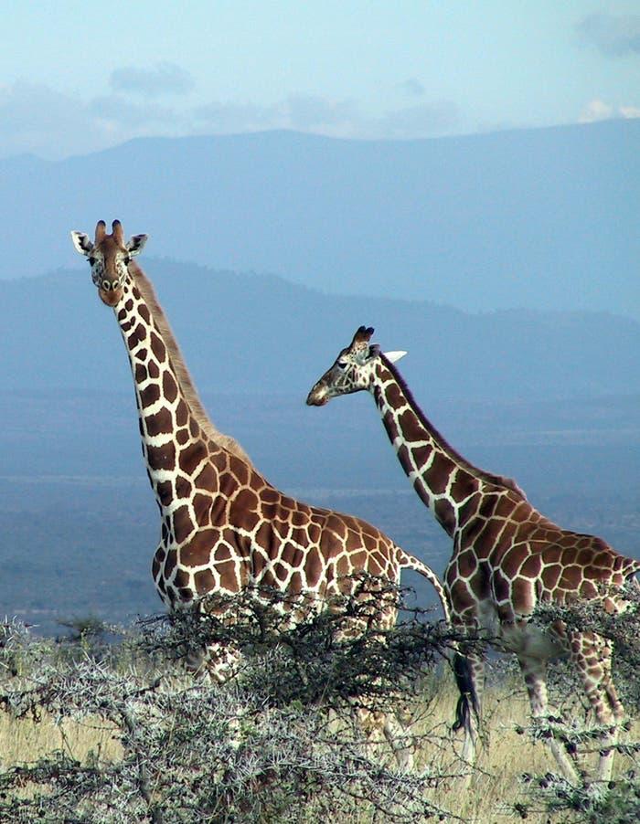 Giraffen und Akazien