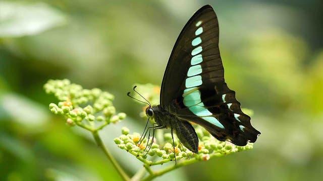 Kolibrifalter Graphium sarpedon nipponum