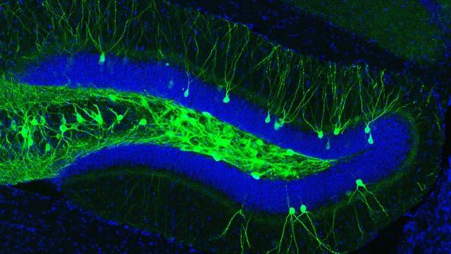 Mäuse-Hippocampus mit grün aufleuchtenden Zellen, die für die Gedächtnisspur verantwortlich sind