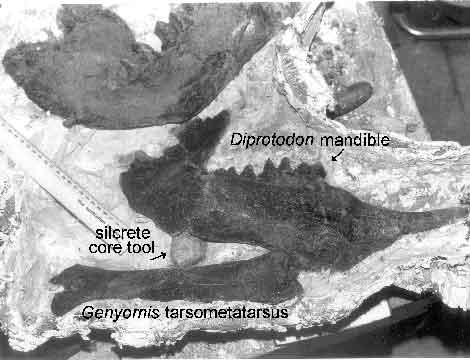 Unterkiefer eines Diprotodon