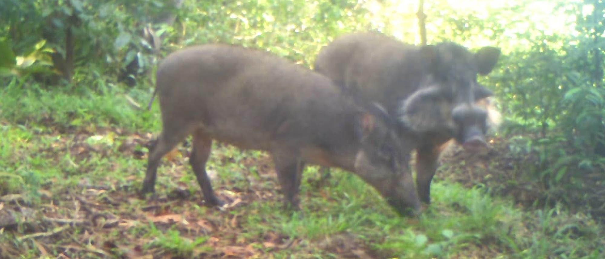 Bawean-Warzenschwein