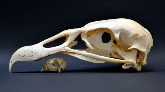 Rotkehlfälkchen und Andenkondor im Vergleich
